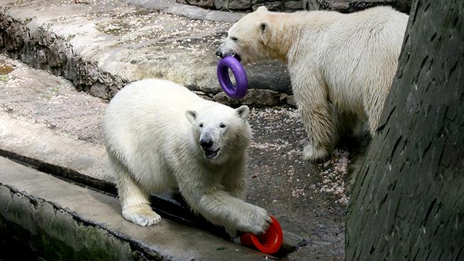 Николаевский зоопарк, белые медведи, обогащение среды животных