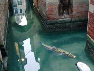 Крокодил заплыл в Венецию, фотожабы об Италии, короновирус, карантин в Италии