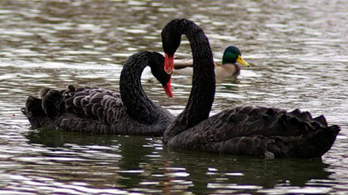 черные лебеди, карантин, зоопарк, николаевский зоопарк