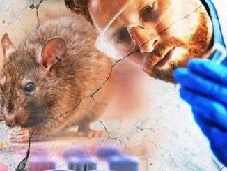 Новый вирус в Китае, хантавирус, заражение, крысы