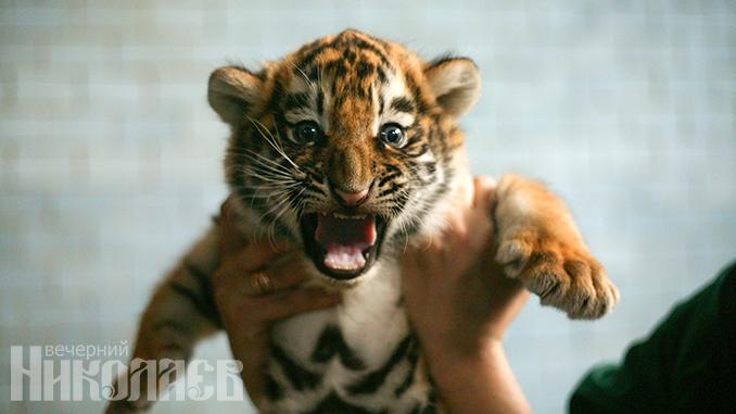 Николаевский зоопарк, карантин в Николаеве, тигр, тигренок, животные