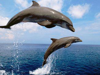 Дельфин афалина