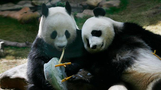 Гонконг, Китай, Зоопарк, панда, новости, природа, карантин, коронавирус, Хорошие новости