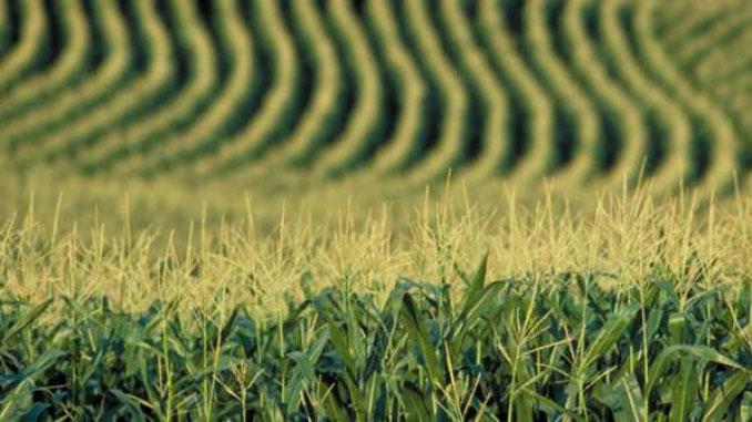 потери урожая, новости, сельское хозяйство, зерно, хлеб, урожай, Украина, экспорт зерна, озимые, яровые, пшеница, рапс, ячмень, рожь, горох, сахарная свекла, кукуруза, горчица, подсолнечник