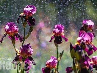Погода в Николаеве, май, дождь, ирисы, цветы, клумба (с) Фото - Александр Сайковский, ВН