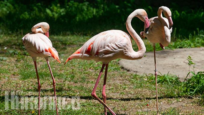 Николаевский зоопарк, фламинго