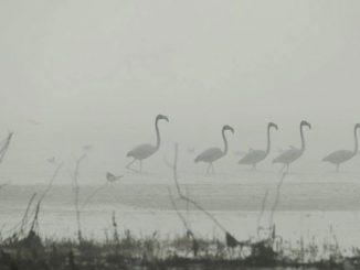 Розовый фламинго, Тилигул, РЛП, Тилигульский, Николаев, Николаевщина, новости, экология, фауна, фламинго