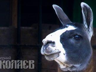 Лама, Николаевский зоопарк, антитела ламы помогут найти лечение от коронавируса (с) Фото - Александр Сайковский, ВН