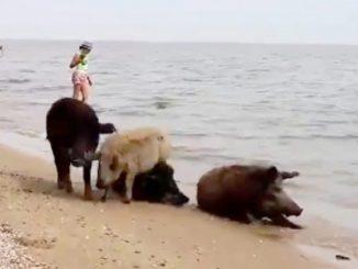 Свиньи пришли на море, пляж, Мариуполь