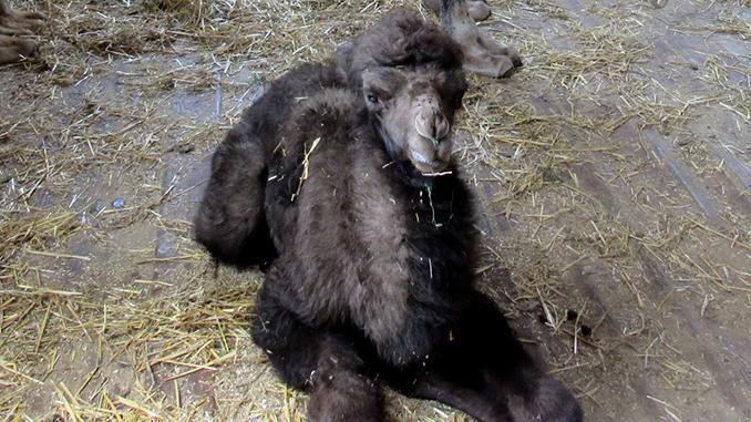 В Николаевском зоопарке родился верблюжонок