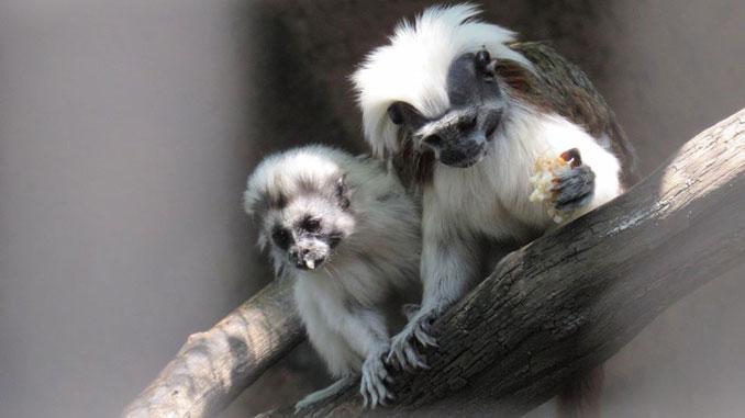эдипов тамарин, новости Николаев, зоопарк, тамарин, игрунки, обезьяна, животные, Николаев, новости, зоопарк