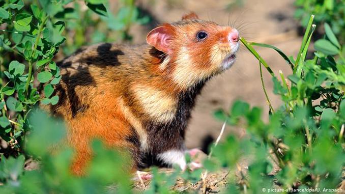 Дикий хомяк, грызуны, мыши, суд в Европе защитил жилища диких хомяков