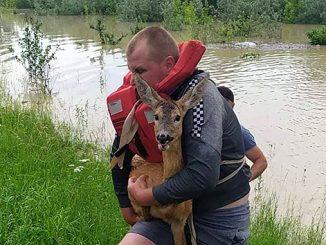 Наводнение на Буковине, дикие животные, охрана природы, экология, серна