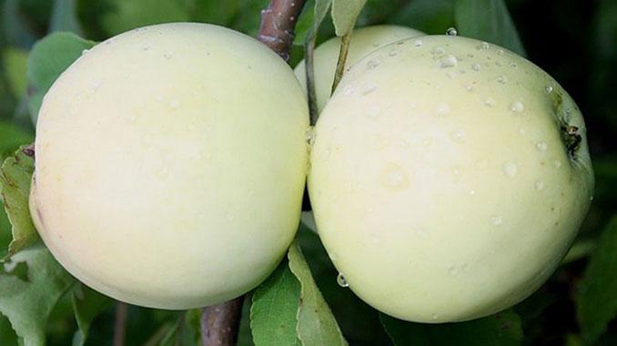 Сезон яблок, новости, фрукты, урожай, яблоки, Украина, фермеры, садоводы, плоды
