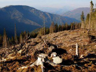 Шмыгаль, леса, вырубки, Карпаты, новости, посадки, лес, Украина,