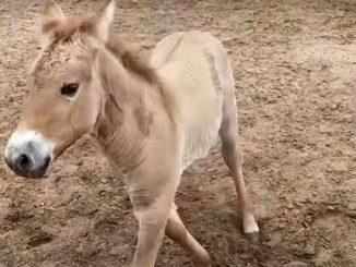 Лошадь Пржевальского, новости, клон, Курт, технологии, клонирование, США
