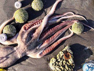 Камчатка, экологическая катастрофа на Камчатке, мертвый осьминог, экология, загрязнение, океан