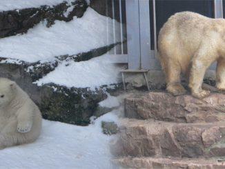 день рождения Сметанки, Николаев, зоопарк, медведи, белые, Сметанка, Нанук, Зефирка, новости