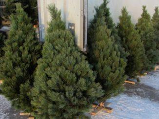 контроль за продажей елок, новости, ГЭИ, Госэкоинспекция, Малеваный, ОГА, Полиция, елки, новогодние, Новый год, Рождество,