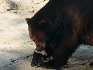 день рождения два медведя, новости, зоопарк, медведи,