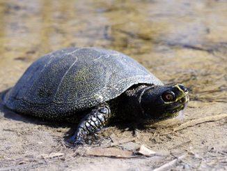 Болотная черепаха, Тилигульский лиман, природа, животные, экология, региональный ландшафтный парк