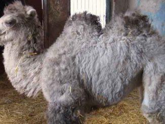 родился верблюжонок, новости, зоопарк, Николаев,