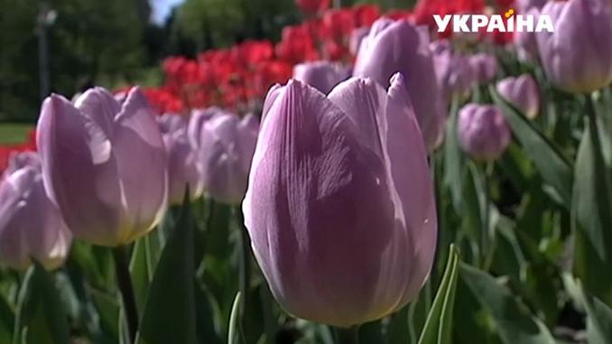 Тюльпаны, цветы, весна, погода