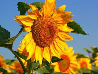 Подсолнечник, подсолнух, подсолнечное масло, погода, лето, аграрии, поле, агробизнес, сельское хозяйство