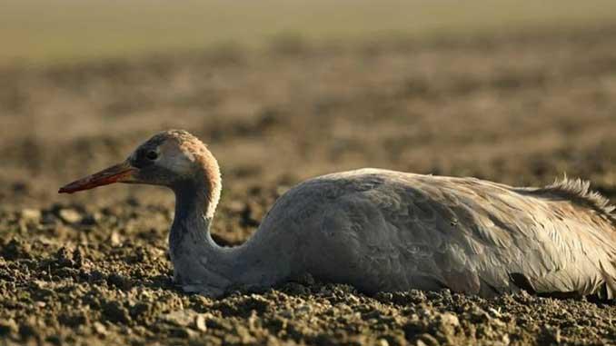 массово гибнут птицы, новости, экология, Аскания-Нова, Асканія-Нова, Херсонщина, Госпродпотребслужба, заповедник,