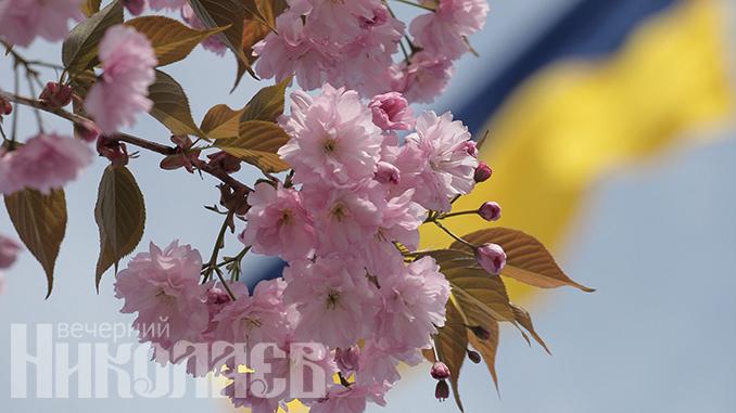 На Соборной площади расцвели сакуры, весна, лето, погода в Николаеве (с) Фото - А.Сайковский, Вечерний Николаев