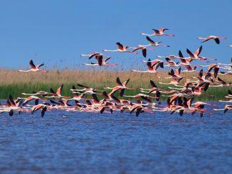 стая розовых фламинго, новости, стая, фламинго, Одесская область, Дунай, птицы,