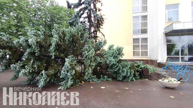 В Николаеве упала одна из голубых елей, новости, дерево, упало, дождь, непогода,