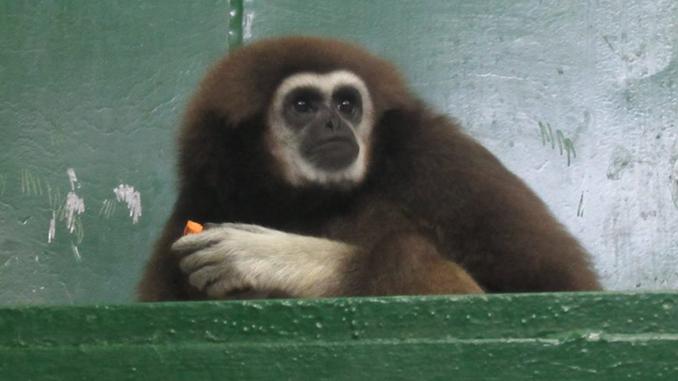 Николаевский зоопарк, самка гиббона