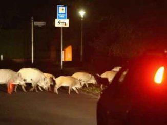 Нашествие диких кабанов в Италии, новости, курьезы, Италия, дикие кабаны, животные, Рим,