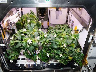 Астронавты NASA вырастили перец чили на МКС