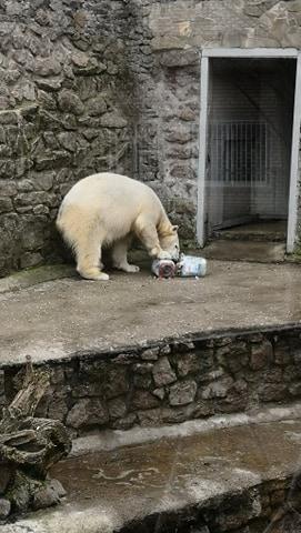 Белый медведь, зоопарк